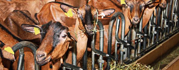 détail d'un troupeau de chèvre